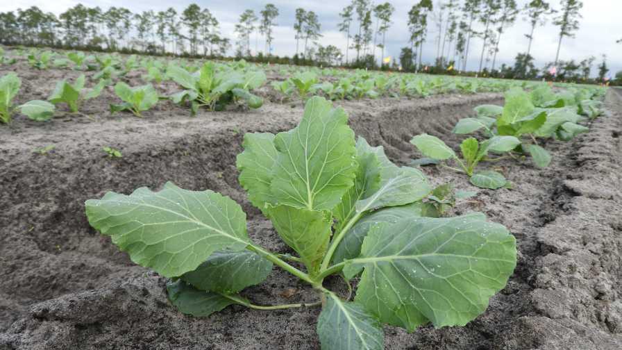Field shot of Florida collard greens diamondback moth pesticide efficacy trial