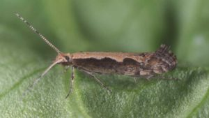 3 Ways to Save Your Vegetable Crops From Diamondback Moths