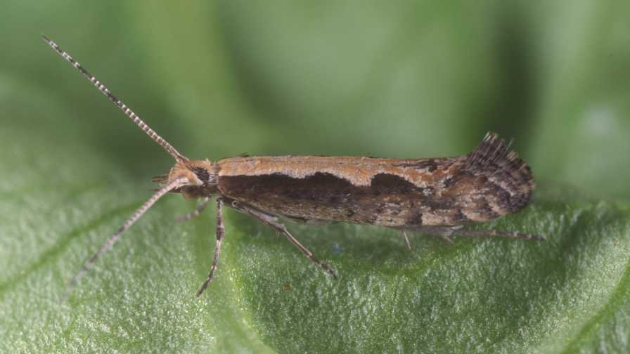 Close-up of mature diamondback moth