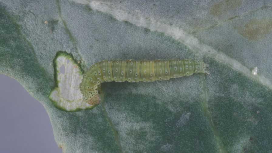 Closeup of diamondback moth in the fourth instar
