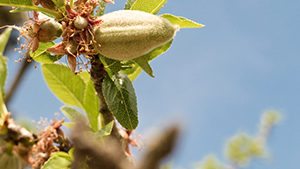 No Rest for Almond Growers When Fending Off Pests/Disease