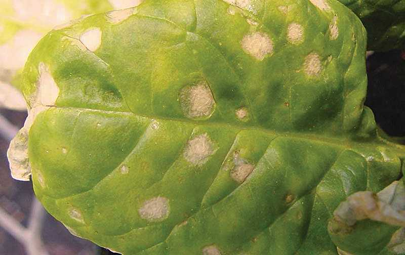 Stemphylium leaf spot of spinach
