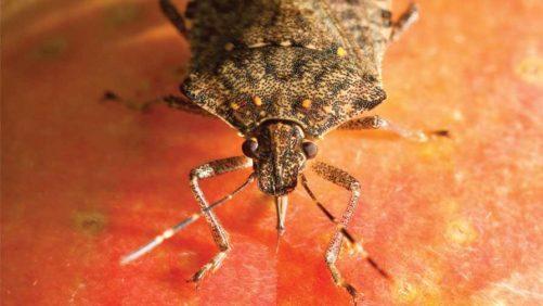 Brown Marmorated Stink Bug Predator Egg Mass Found