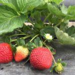 Florida Beauty strawberries