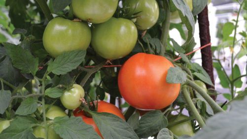 The Dos and Don'ts of Growing Greenhouse Vegetables