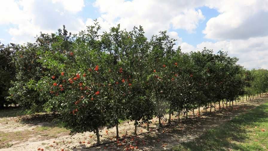 Citrus scion and rootstock trial at Whitmore Farm in Florida