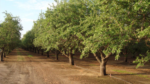 Healthy Mix of Fungicide Active Ingredients Helps Manage Almond Disease