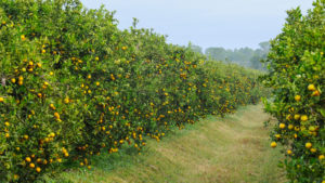 Control Citrus Thrips to Achieve Healthier Crop