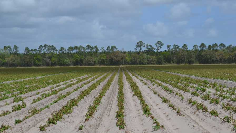 Freeze-damaged potato field in Florida