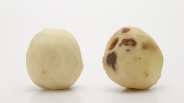 Innate Gen 2 Atlantic potato compared to a Snowden FEATURE