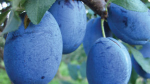 Plum Varieties are Complex and Fascinating [Slideshow]