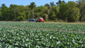 Barnes Farm cabbage field in Hastings, FL