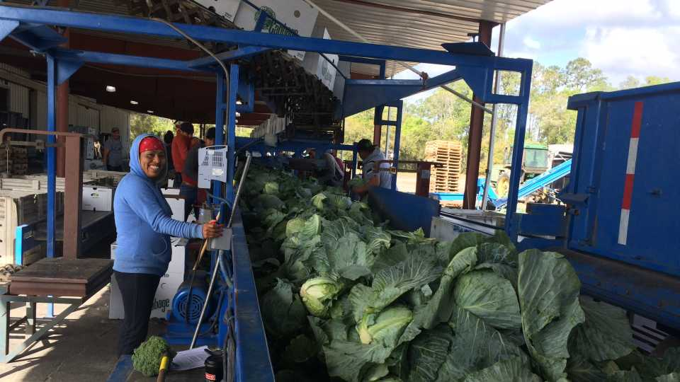 Barnes Farm cabbage packing line