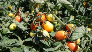Protect Tomato Quality From Worm Pests