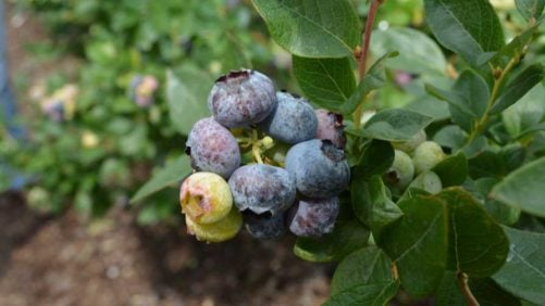 Florida Blueberry Growers Challenged to Maintain Momentum