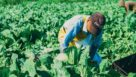 Felipe-Gallardo-harvesting-collard-greens-at-Buurma-Farms