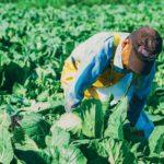 Felipe-Gallardo-harvesting-collard-greens-at-Buurma-Farms