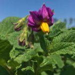 Florida potato plant in full bloom