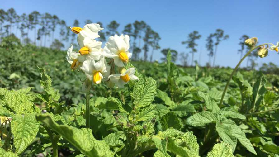 Florida potato plants in bloom at the UF/IFAS Cowpen Branch research and demonstration farm in Hastings, FL