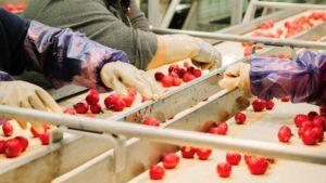 Grading-radishes-at-Buurma-Farms