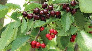 Challenging Cherry Disease Keeps Growers, Researchers on Their Toes