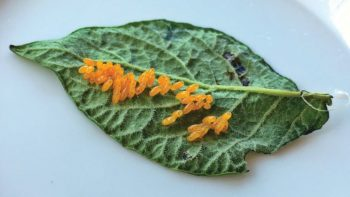 Potato-beetle-eggs