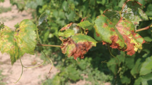 Examining the Effectiveness of Biologicals Against Downy Mildew in Grapes