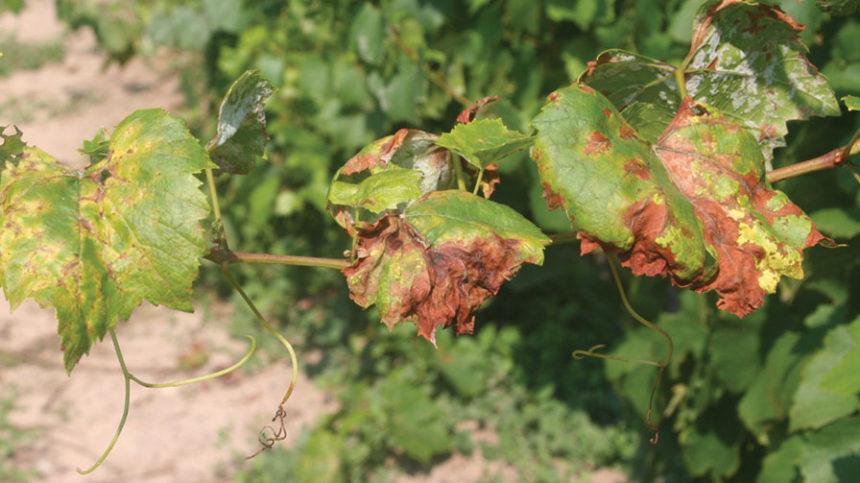 Novel Biofungicide Approved for Grapes, Leafy Greens
