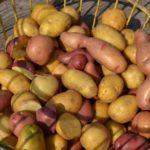 Specialty potato varieties for Florida growers