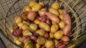 Specialty potato varieties for Florida growers