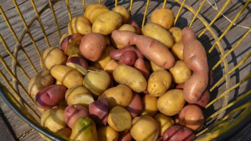 Hot Potato Trends on Front Burner for Florida Growers