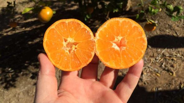 Tango mandarin orange sliced in half
