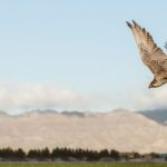 Falcon-takes-flight-at-Duncan-Family-Farms