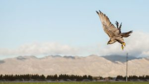 Falcons Scare off Other Birds at Duncan Family Farms
