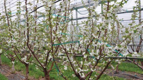 Multiple Leader Training Optimizes Sweet Cherry Labor Efficiency