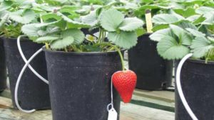 UC Davis Strawberry Lawuit Settled