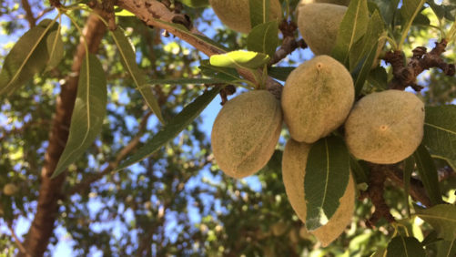 Grow Smart with BASF: Almond Solutions