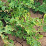 Cucurbit leaf crumple virus