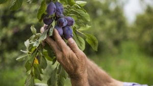 California Dried Plum Crop Expected To Double