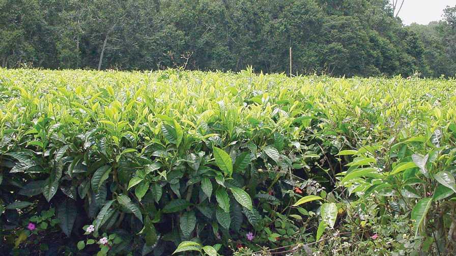 field of tea plants