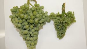 Washington Grape Grower Battles New Threat
