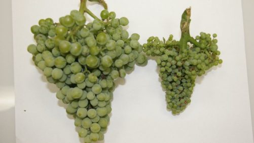 Washington Grape Grower Battles New Threat
