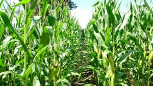 45 Years Ago, a Hard Freeze in June Killed an Entire Sweet Corn Crop