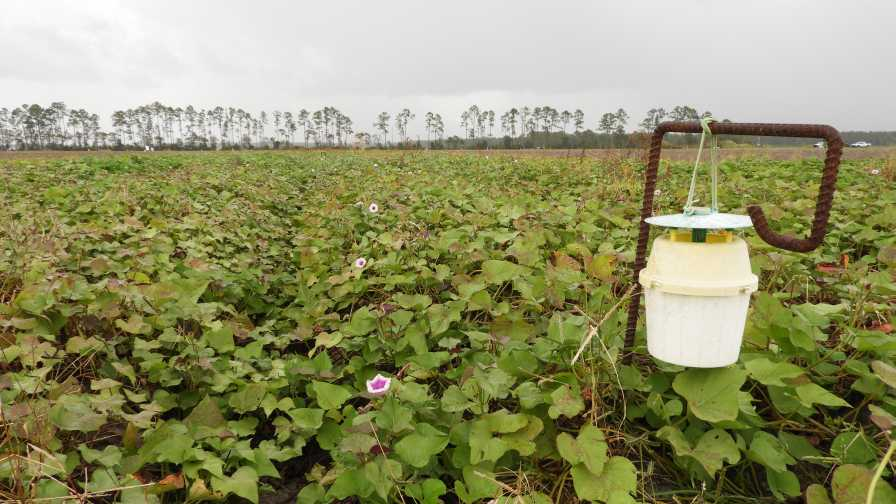 Florida sweet potato field with weevil trap