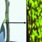 Jellyfish genes causing citrus phloem to glow