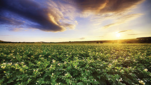 Wet Start to Potato Growing Season Makes Disease Prevention Crucial