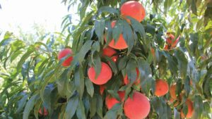 Southeast Peach Prices Soar with Small Crop