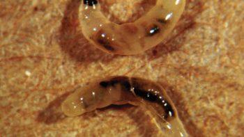 darkwinged fungus gnat larvae