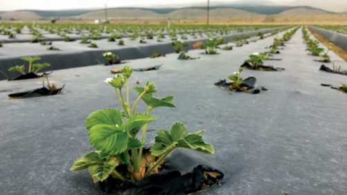 Tips to Control Rodents in Drip-Irrigated Strawberries