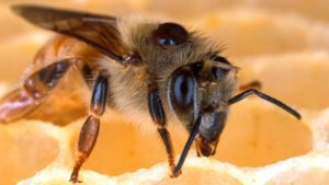 USDA to Investigate Honeybee Disease Controls